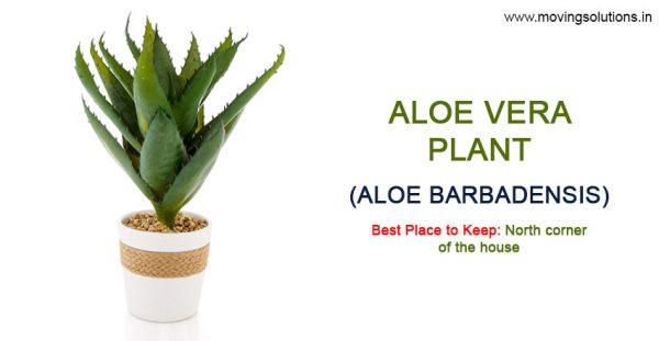 Aloe-Vera-Vastu-Plant