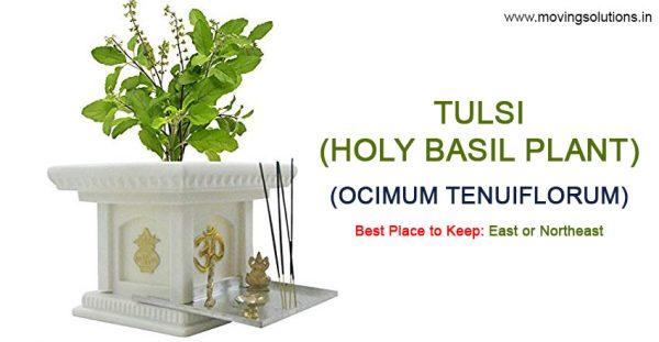 Holy-Basil-Tulsi-Plant