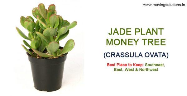 Jade-Plant-Feng-Shui-Plant