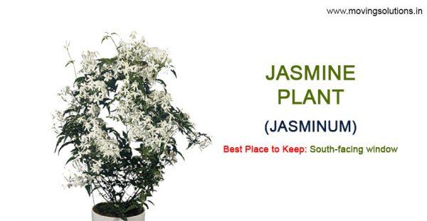 Jasmine-Vastu-Plants