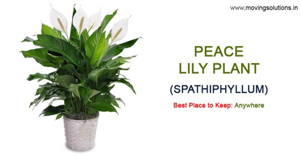 Peace-Lily-Plant