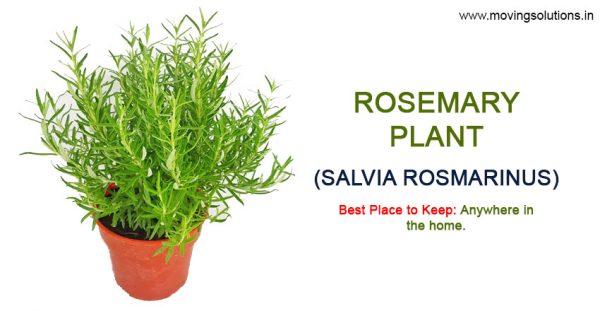 Rosemary-Vastu-Plant