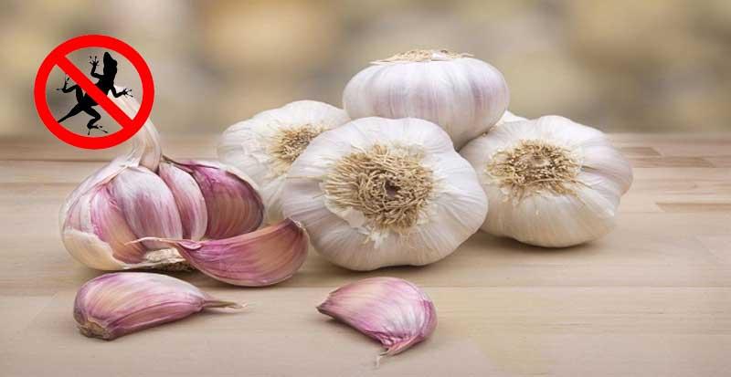 garlics-repel-lizards